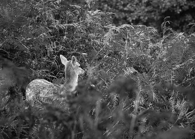 Deer in Knole Park