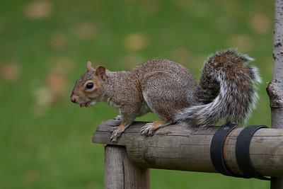 Grey Squirrel in St James Park