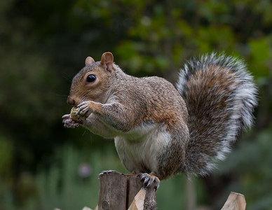 Grey Squirrel in St James Park
