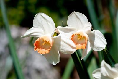 Daffodils in my back Garden