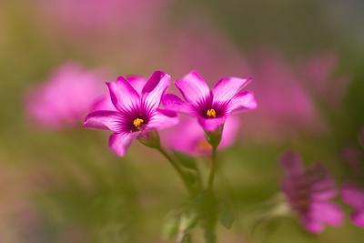 Pink-sorrel