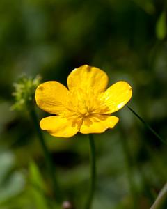 Buttercup in My back Garden