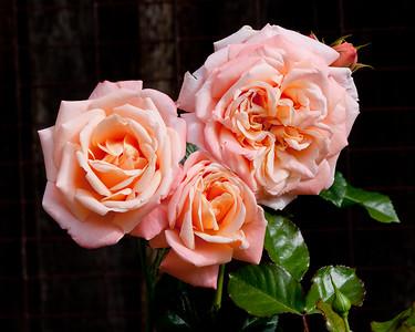 Roses in my back Garden