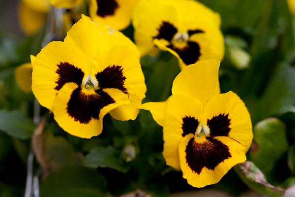 Pansies in My back Garden