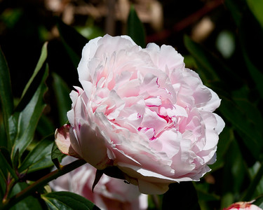 Rose in my back Garden