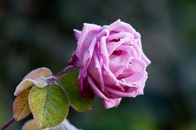 Frosty Rose in My Garden