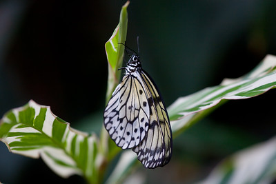 Tree Nymph Butterfly