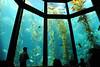 Huge kelp in the Monterey Bay Aquarium