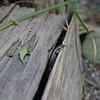 Healesville Sanctuary - Wild & free skink<br /> Healesville állatkert - Vadon élő gyík