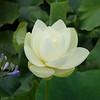 Lotus flower<br /> <br /> Lótuszvirág