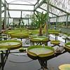 Water lilies<br /> <br /> Tavi liliomok