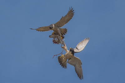 Peregrine Falcons in airial food exchange, Point Reyes National Seashore.
