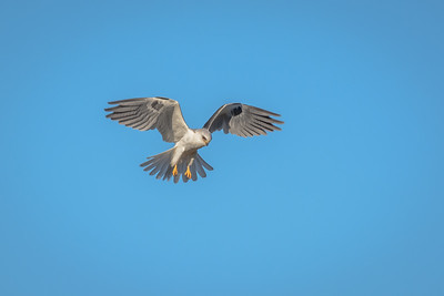 White Tailed Kite, Point Reyes National Seashore.