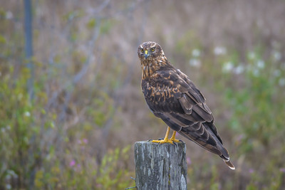 Female Northern Harrier, Point Reyes National Seashore