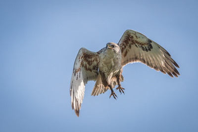 Ferruginous Hawk, Point Reyes National Seashore