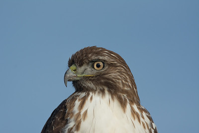 Red Tail Hawk, Point Reyes National Seashore.