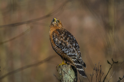 Red-Shouldered Hawk, Point Reyes National Seashore.