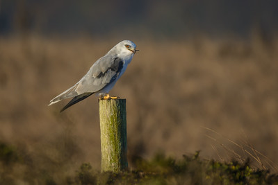White-Tailed Kite, Point Reyes National Seashore