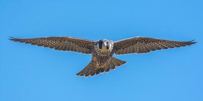 Juvenile Peregrine Falcon, Point Reyes National Seashore.