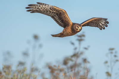 Female Northern Harrier, Point Reyes National Seashore.