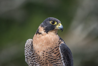 Peregrine Falcon, captive, Point Reyes National Seashore.