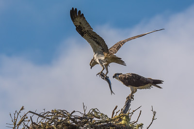 Nesting Osprey pair, Point Reyes National Seashore