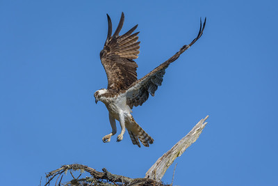 Osprey, Point Reyes National Seashore.