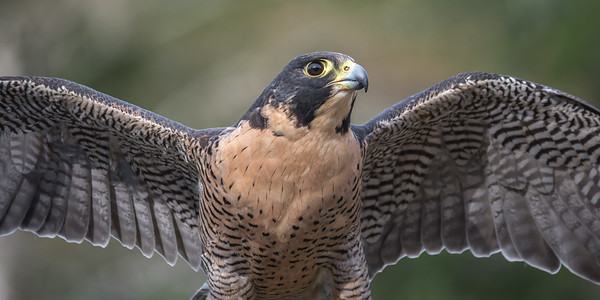 Peregrine Falcon, , Point Reyes National Seashore.