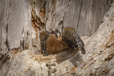 American Kestrel Fledgling, Point Reyes National Seashore.