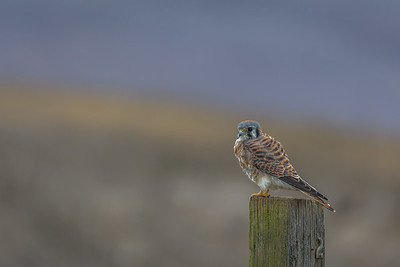 Male American Kestrel, Point Reyes National Seashore.