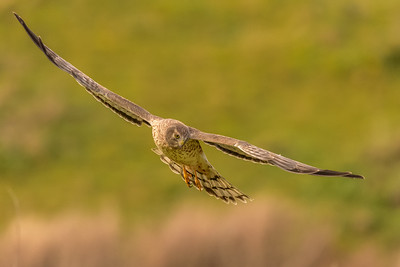 Female Northern Harrier at Point Reyes National Seashore