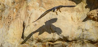 Peregrine Falcon, Point Reyes National Seashore.