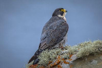 Peregrine Falcon, Point Reyes National Seashore.