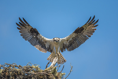 Nesting Osprey, Point Reyes National Seashore.