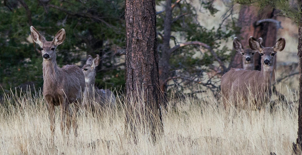 Deer near Greer, Arizona