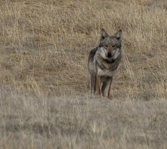 Lone Wolf of Northern Arizona