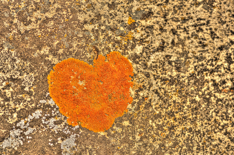 """ Heart Lichen ""   ____ 2755Kh<br /> <br /> Even the smallest things are alive with color in Yellowstone...<br /> This unique image is fused directly onto a specially treated, rigid piece of Aluminum.<br /> More archival and lighter than a framed paper print, it arrives ready to hang.<br /> The Float-Mounted MetalPrint™ needs no frame and<br /> will appear to float 3/4"" from your wall.<br /> <br /> Archival paper prints are also available<br /> ------- Contact us for more information -------<br /> moreinfo@RobertHowellPhotography.com"