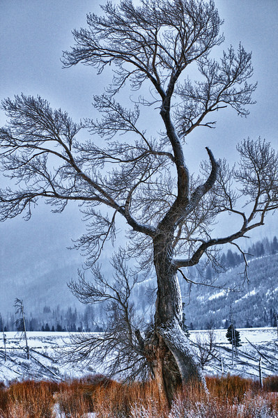 Walking Tree   ___1013M<br /> <br /> Another favorite Yellowstone tree...<br /> .