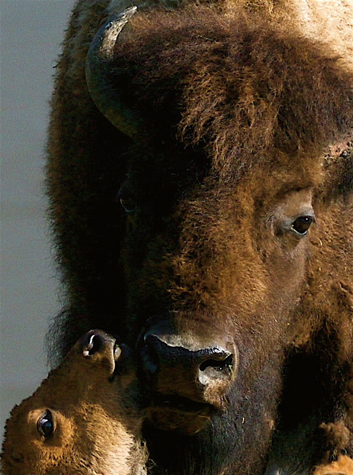 """ Bison Mom ""   ____ 0449Kv<br /> <br /> <br /> Bison live from 12 to 15 years, some as long as 20 years.  <br /> They feed primarily on grasses.  In the winter, bison migrate to lower elevations.<br /> <br /> This unique image is fused directly onto a specially treated, rigid piece of Aluminum.<br /> More archival and lighter than a framed paper print, it arrives ready to hang.<br /> The Float-Mounted MetalPrint™ needs no frame and<br /> will appear to float 3/4"" from your wall.<br /> <br /> Archival paper prints are also available<br /> ------- Contact us for more information -------<br /> moreinfo@RobertHowellPhotography.com"