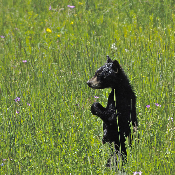 """ Cub and Flower ""   ____ 5158Ks<br /> <br /> I  was watching a black bear walking through the grasses when suddenly this still wet newborn stood up on his hind legs, looking for his Mom.  See his belly button?<br /> <br /> This unique image is fused directly onto a specially treated, rigid piece of Aluminum.<br /> More archival and lighter than a framed paper print, it arrives ready to hang.<br /> The Float-Mounted MetalPrint™ needs no frame and<br /> will appear to float 3/4"" from your wall.<br /> <br /> Archival paper prints are also available<br /> ------- Contact us for more information -------<br /> moreinfo@RobertHowellPhotography.com"