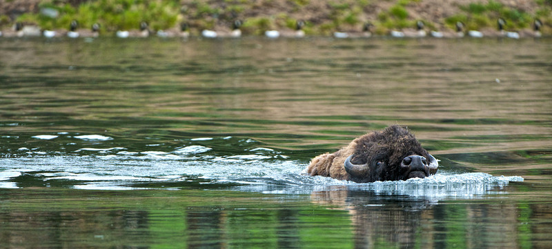 """"""" Bison swim """"   ____ 2817Kh<br /> Beautiful image as a 12x24 MetalPrint!<br /> <br /> I watched this big fella climb down from atop a ridge on the other side of the Yellowstone River.  He parted a flock of Canada Geese ( see them in the background) and started his morning swim...  <br /> <br /> This unique image is fused directly onto a specially treated, rigid piece of Aluminum.<br /> More archival and lighter than a framed paper print, it arrives ready to hang.<br /> The Float-Mounted MetalPrint™ needs no frame and<br /> will appear to float 3/4"""" from your wall.<br /> <br /> Archival paper prints are also available<br /> ------- Contact us for more information -------<br /> moreinfo@RobertHowellPhotography.com"""