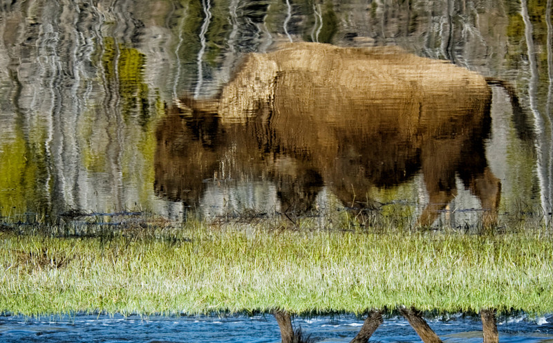 """ Reflected Bison ""   ____ 0084KFh<br /> <br /> <br /> This unique image is fused directly onto a specially treated, rigid piece of Aluminum.<br /> More archival and lighter than a framed paper print, it arrives ready to hang.<br /> The Float-Mounted MetalPrint™ needs no frame and<br /> will appear to float 3/4"" from your wall.<br /> <br /> Archival paper prints are also available<br /> ------- Contact us for more information -------<br /> moreinfo@RobertHowellPhotography.com"