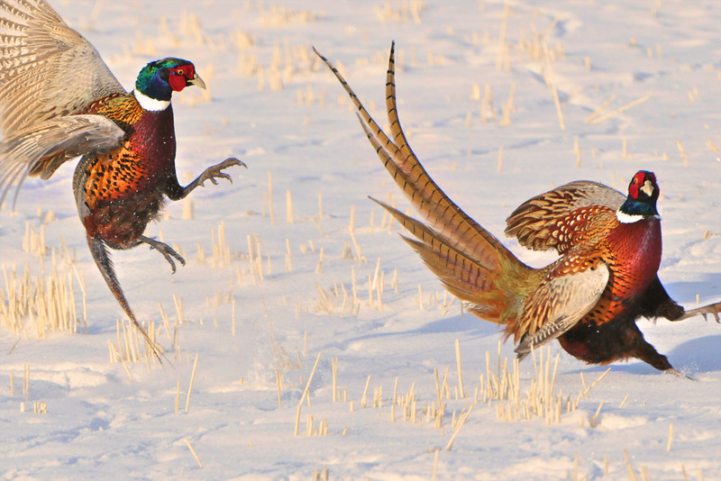 """"""" Duel """"  <br /> <br /> Bright pheasant in the snowfield.. <br /> <br /> This unique image is fused directly onto a specially treated, rigid piece of Aluminum.<br /> More archival and lighter than a framed paper print, it arrives ready to hang.<br /> The Float-Mounted MetalPrint™ needs no frame and<br /> will appear to float 3/4"""" from your wall.<br /> <br /> Archival paper prints are also available<br /> ------- Contact us for more information -------<br /> moreinfo@RobertHowellPhotography.com"""