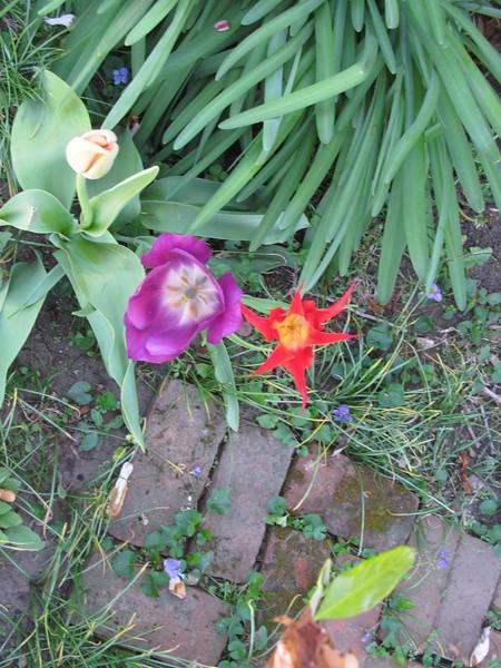 04-17-16 Dayton 02 tulips