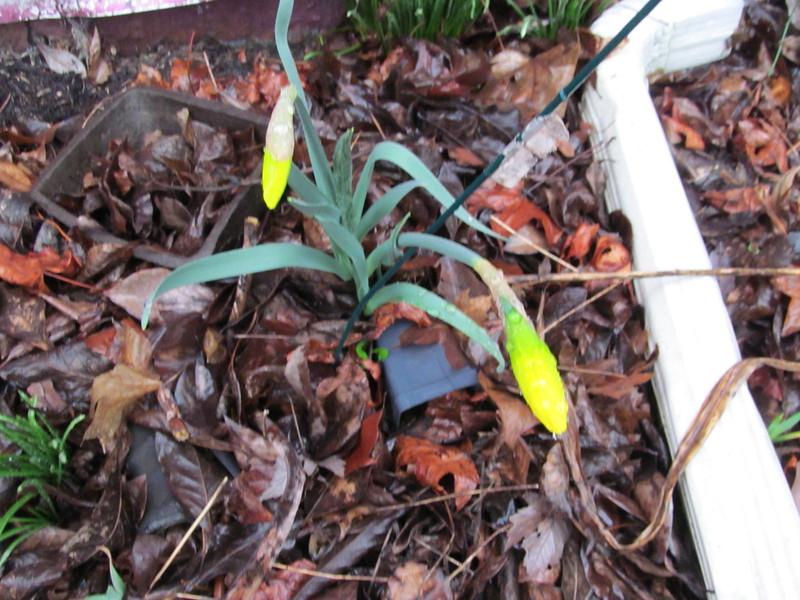 03-10-16 Dayton 03 daffodil
