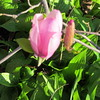 04-01-16 Dayton 04 magnolia