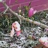 04-09-16 Dayton 05 snow magnolia