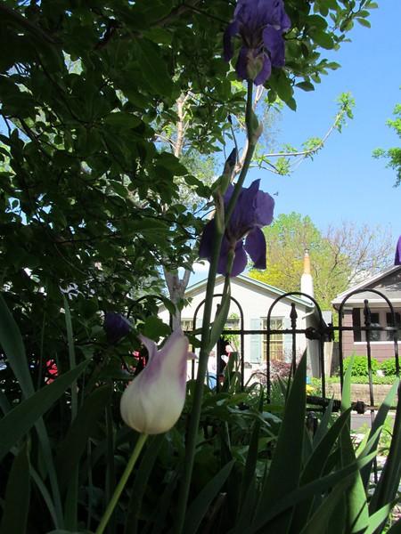 05-01-16 Dayton 05 tulip