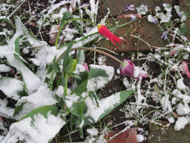 04-09-16 Dayton 02 snow tulips