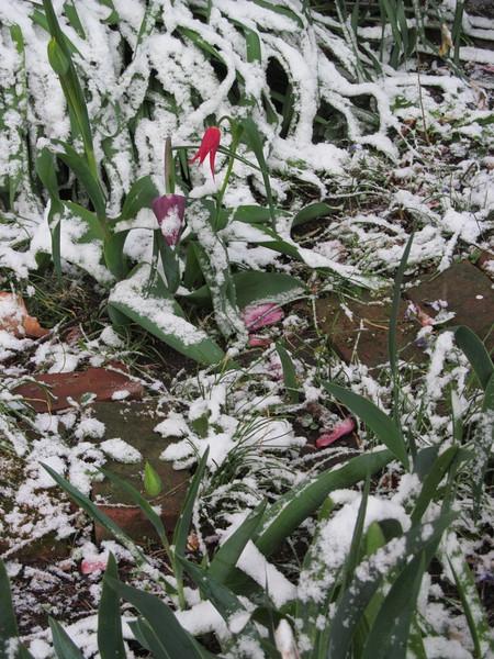04-09-16 Dayton 03 snow tulips